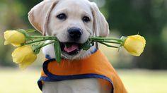 labrador_puppy_flower_vest_26939_1920x1080.jpg (1920×1080)