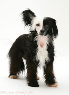 Puppy & red Guinea Pig. WP37413 Black-and-white Chinese Crested dog ...