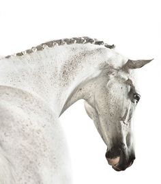 Cilantro, by Shelli Breidenbach Photography // Romanoff Elements All The Pretty Horses, Beautiful Horses, Horse Head, Horse Art, Horse Silhouette, Horse Quotes, Horse Stables, White Horses, Equine Art