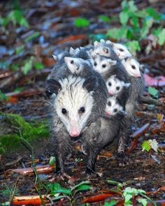 Opossum momma and her babies