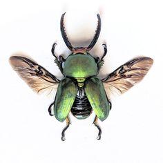 Mount Arfak Stag Beetle
