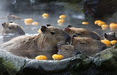 capibaras taking a bath :)