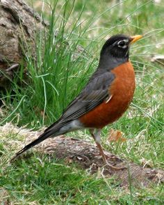 American Robin. These nest with us all year. They especially enjoy it when we rake.