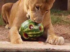 Enriquecimento Ambiental com Leão - Lion Environmental Enrichment - YouTube