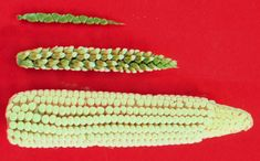 Maize-teosinte - Zea (genus) - Wikipedia, the free encyclopedia Edible Grass, Popcorn Seeds, Mind Blowing Images, Genetically Modified Food, Evil Empire, Food Staples, Fruits And Vegetables, Genetics, School
