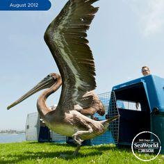 Did you know pelicans work together, flying in a 'U' shape, to make catching fish easier? Once this rescued brown pelican was healthy, SeaWorld returned it so it could get back to fishing! #365DaysOfRescue