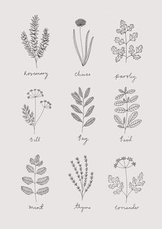 Ryn Frank is a freelance illustrator, specialising in hand drawn illustrations. Herbs Illustration, Illustration Blume, Botanical Illustration, Bullet Journal Ideas Pages, Bullet Journal Inspiration, Botanical Drawings, Botanical Art, Wildflower Drawing, Herb Art