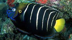 Goldtail Angelfish(Pomacanthus chrysurus)