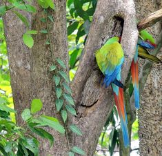 Great Green Macaw   World Parrot Trust