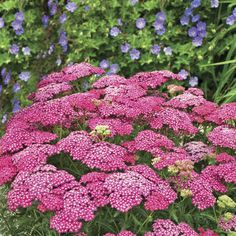"""Saucy Seduction Yarrow is loaded with fuchsia-pink flowers that are long lasting and weather resistant. This impressive 'Seduction Series"""" is the best we've seen. Plants have a compact, sturdy and robust habit. Yarrow is a hardy and versatile perennial and they are admirable performers in the garden. Very easy to grow, even if your thumb isn't 'green'. Light Requirements: Sun/Shade Sun Sun Zone:2a - 9b Bloom Time:Early Summer - Early Fall Colour:Pink Height:18"""" - 23"""" Veseys"""