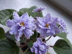 African Violet Saintpaulia-Fantasy Fiesta (J. Eyerdom) -starter plant