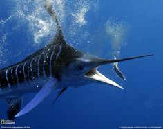 Blue Marlin fishing.  I love this time of year when my cast net cowboys  set out to capture their dreams.!!!