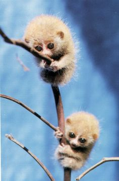 "Slow Loris Infants:  ""Hey Bro!  Wait for me!  You're moving way too fast!"""