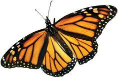 monarch butterfly Monarch Butterfly, Butterfly Wings, Holographic Universe, Nicolaus Copernicus, Butterflies, Design, Image, Diy Stuff, Anastasia