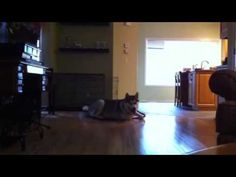 Ever seen a 125lb Alaskan Malamute sneakily crawl on the floor? Kinds looks like a giant rabbit.
