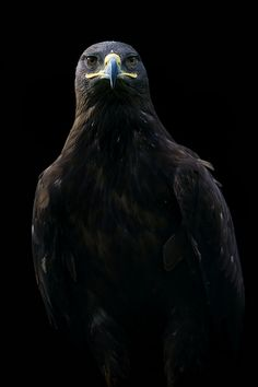 Rapace - IM Free – Your Source for High-Quality Free Images Dark Photography, Black And White Photography, Fire Rocks, Black Eagle, Golden Eagle, Eagle Bird, Pretty Animals, Majestic Animals, Animals Images