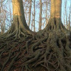 Roots #woodlandwalks #treeroots Tree Roots, Ap Art, Woodland, Flora, Instagram Posts, Plants, Plant, Planets