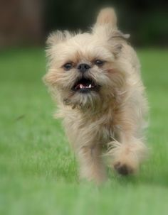 Brussels Griffon, Bella in motion.