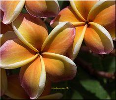 Orange Plumeria