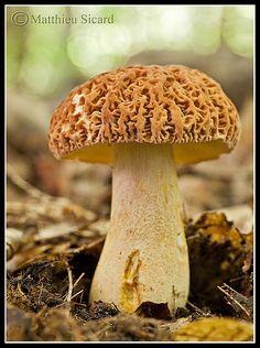 Boletus hortonii (A) | Faible profondeur de champs pour mett… | Flickr