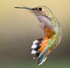 A side view of the Rufous Hummingbird.  From the top 100 photos of the 2017 Audubon Photography Contest.