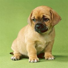 This mixed-breed puppy combines the Pekingese and Chihuahua attributes to make a pleasing small dog. Pekingese were held sacred in ancient China. They are dignified and affectionate. Both Pekingese and Chihuahuas do well in apartments as long as they are exercised regularly.