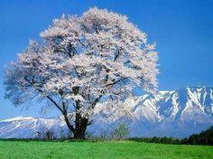 Beautiful Spring Season in Japan