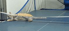 My new ping pong partner…my cat would so do this