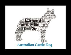 Traits of the Australian Cattle Dog In the early 1800s vast land areas in Australia supported unruly cattle that traditional European herding breeds had trouble controlling. Ranchers needed a dog that