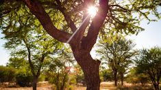 Linear timelapse of an Acacia tree with textured bark, semi-silhoutte in an early winter African scene, sun rays through green leaves, with focus pull to grassy landscape in golden sunlight, sunset. African Sunset, Sun Rays, Acacia, Green Leaves, Stock Footage, Sunlight, Sunsets, Scene, Landscape