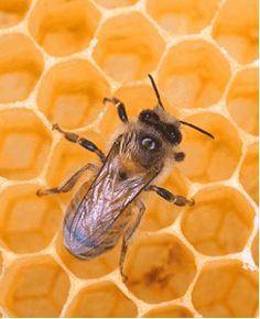 bee~Can't areodynamically fly but doesn't know it so FLYS anyways! =)