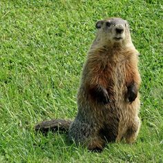 Difference Between Groundhog and Beaver Hamsters, Rodents, Sleepy Animals, Baby Animals, Cute Animals, Reptiles And Amphibians, Mammals, Get Rid Of Groundhogs, Nature