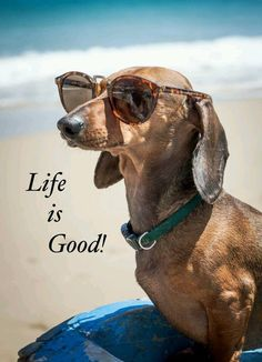LIfe Is Good! - cute dachshund in sunglasses Dachshund Funny, Dachshund Love, Funny Dogs, Funny Animals, Cute Animals, Daschund, Dapple Dachshund, Dachshund Puppies, Chihuahua Dogs