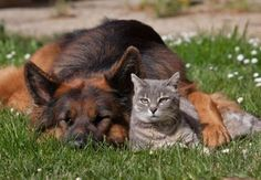 cute cat and german shepherd best friends
