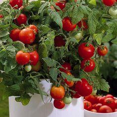 Parveketomaatti Red Robin Clean Eating, Healthy Eating, Luxury Food, Garden Seeds, Seaweed Salad, Garden Inspiration, Robin, Dairy Free, Lunch