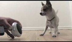Pancho the little chihuahua dancing to music in this short cute video clip.