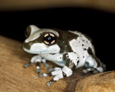 amazon milk frog - Google Search