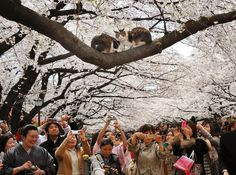 Shutter-happy cherry blossom viewers take pictures of two cats in a tree at Tokyo's Ueno Park on April 6.