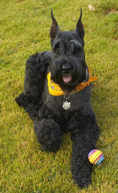 Giant Schnauzer Gigante Riesenschnauzer Lili in NC | Flickr - Photo Sharing!