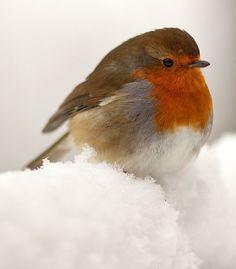 So aufgeplustert wie das kleine Rotkehlchen dasitzt, schützt es vor der eisigen Kälte. ❄❄❄ Huhu ...