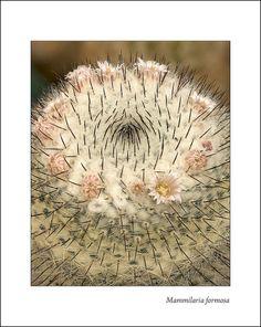 Mammilaria formosa | Gary Nored - AnEyeForTexas
