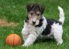 Foxterrier puppy