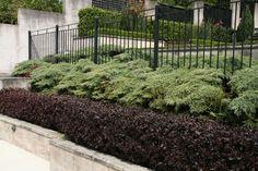 GardenDrum Alternanthera hedge with juniper Gladesville, NSW Green Backgrounds, Hedges, Evergreen, Sidewalk, Waves, Yard, Plants, Gardens, Ideas