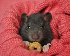 They'll cozy up anywhere, especially if it's on your shoulder or in your lap. | 18 Reasons Why Rats Are The Most Underrated Pet