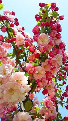 Crabapple or Japanese cherry