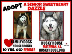 #AdoptASeniorDog Dazzle 10 year old #Senior #Siberian #Husky would love to share your home with you!  Come meet her today!