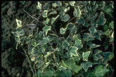 Find Help Information On Hedera Helix Eva V Ivy From The Rhs