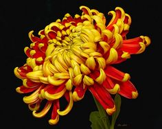 6 Agrolifecoin - The Social Network For Agriculture - Member Home Page Sugar Flowers, Cut Flowers, Beautiful Flowers, Flower Drawing Images, Chrysanthemum Tattoo, Indoor Flowering Plants, Botanical Drawings, Belleza Natural, Exotic Flowers