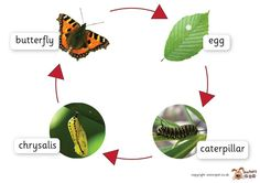 Teacher's Pet - Butterfly life cycle poster - FREE Classroom Display Resource - EYFS, KS1, KS2, minibeasts, life cycle, butterfly, butterflies, caterpillars