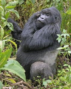 """""""Silverback Gorilla in Africa"""" by Benjamin Thomas: This photo was taken in Rwanda at Volcanoes National Park. After trekking for over nine hours through thick mud, dense brush, bamboo forests and stinging nettles we located a family of gorillas and this magnificent silverback seemed to strike a pose — as if he did it every day. He was within arms reach as I took this photo. Shortly after this photo he decided he had enough and, pounding his chest, scrambled right past us and back into the…"""